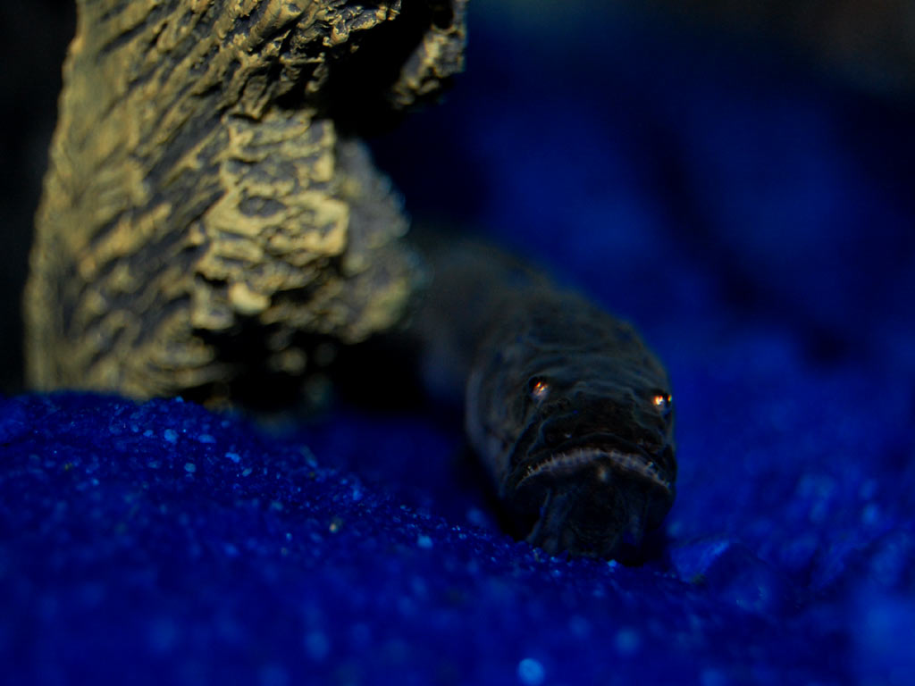 My little beggars tropical fish forums for Dragon fish goby
